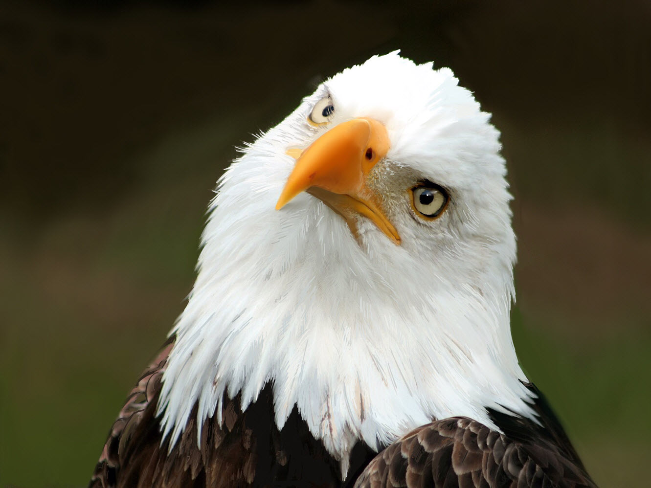 Our National Bird, the Bald Eagle
